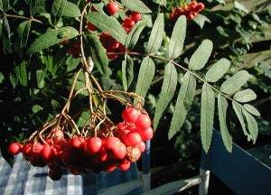 Rønnebær optræder i flere af de øl der skal smages til arrangementet med Ny Nordisk Øl