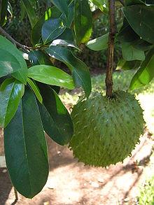Graviola. Photo from wikipedia