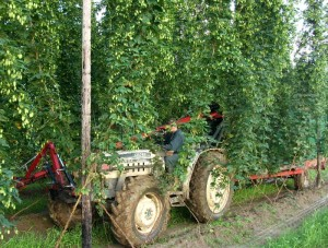 Visiting a hop farm during harvest season was a first for me. Read more about it soon