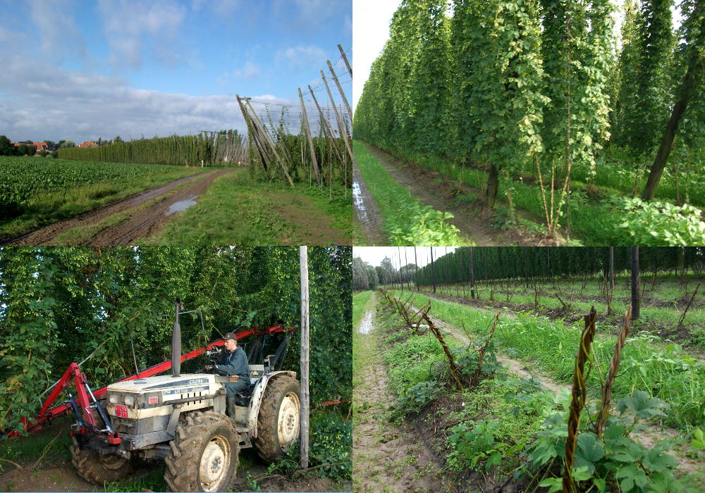 Cutting down the hop bines