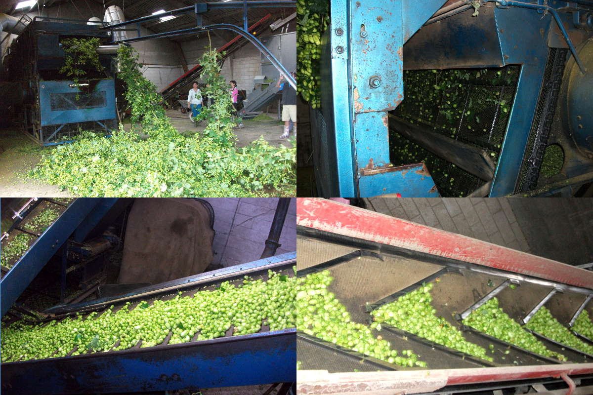 Picking the hop cones off the plant and transporting them to the drying room