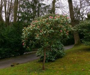 Rhododendron i Konopiště slotshave.